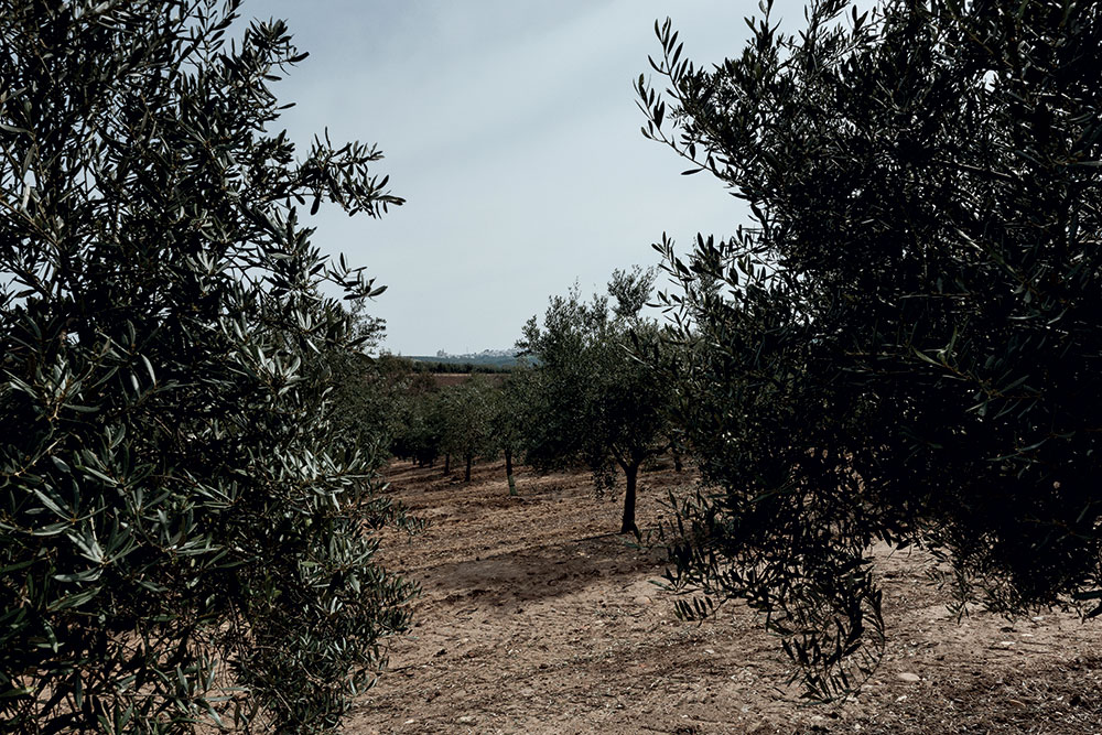 Olive trees at the Lovera's farm