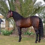 Manuel Tirado with horse Chulo JLE